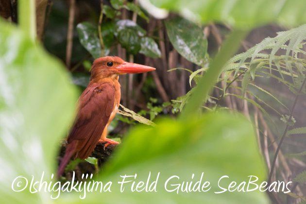8月13日石垣島バードウオッチング&野鳥撮影5