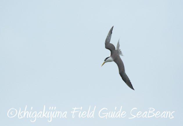 8月2日石垣島 バードウオッチング 野鳥撮影18