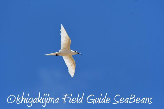 8.15石垣島バードウオッチング&野鳥撮影10