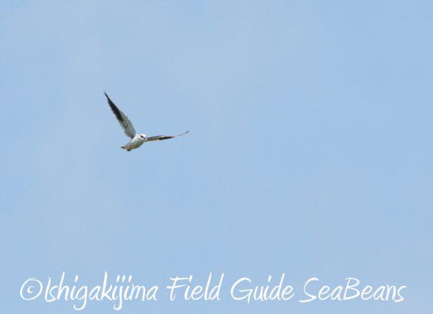 8月6日 石垣島の野鳥 バードウオッチング13