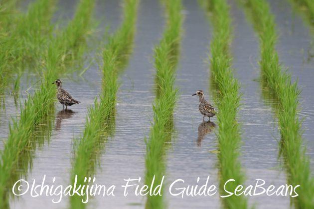 8月25日石垣島バードウオッチング&野鳥撮影ガイド10