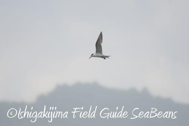 8.15石垣島バードウオッチング&野鳥撮影11