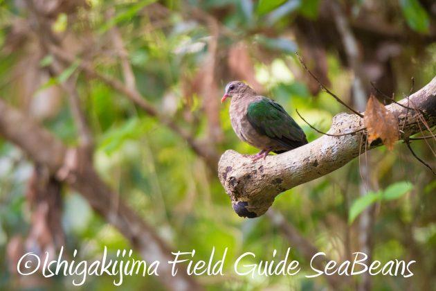 8.28石垣島バードウオッチング&野鳥撮影10