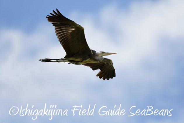 8月6日 石垣島の野鳥 バードウオッチング11