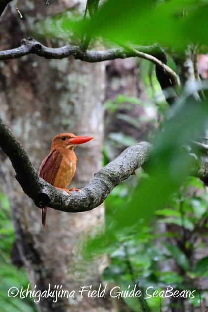 8月12日石垣島バードウオッチング&野鳥撮影1