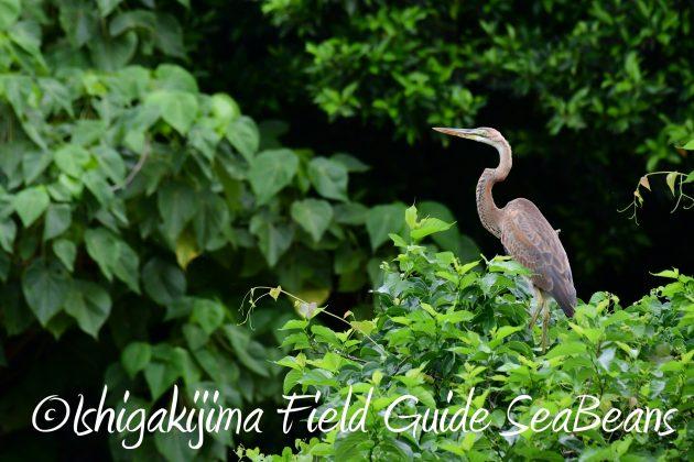 8月12日石垣島バードウオッチング&野鳥撮影13