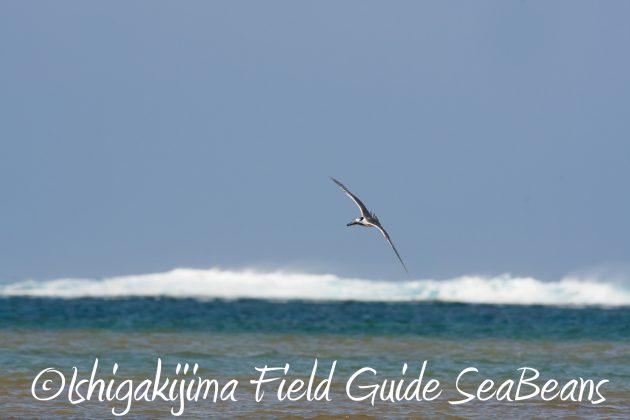 8月25日石垣島バードウオッチング&野鳥撮影ガイド2