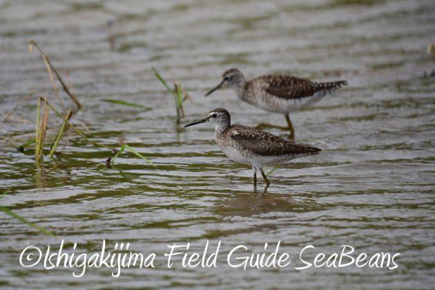 8月11日石垣島バードウオッチング&野鳥撮影6