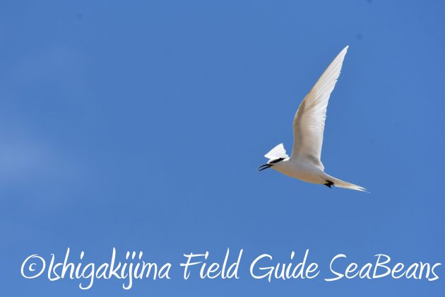 8月16日石垣島 バードウオッチング&野鳥撮影ガイド10