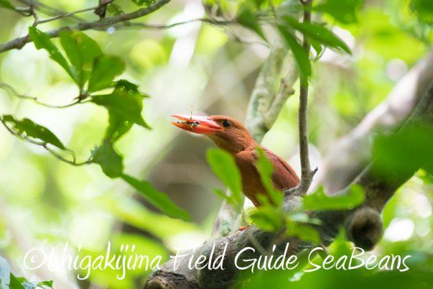 8月6日 石垣島の野鳥 バードウオッチング16