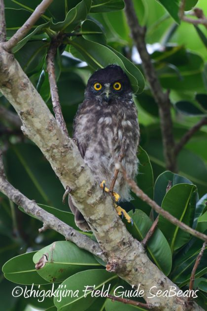 8月2日石垣島 バードウオッチング 野鳥撮影19