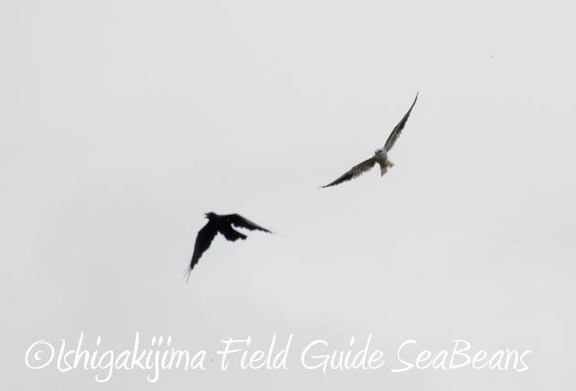 8月12日石垣島バードウオッチング&野鳥撮影20