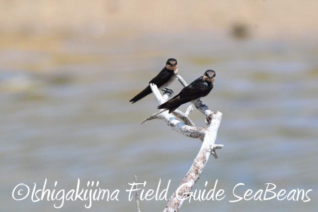 8月16日石垣島 バードウオッチング&野鳥撮影ガイド9