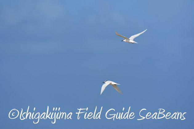 8月26日石垣島バードウオッチング&野鳥撮影ガイド17