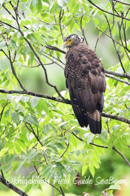 8月10日石垣島 バードウオッチング&野鳥撮影7