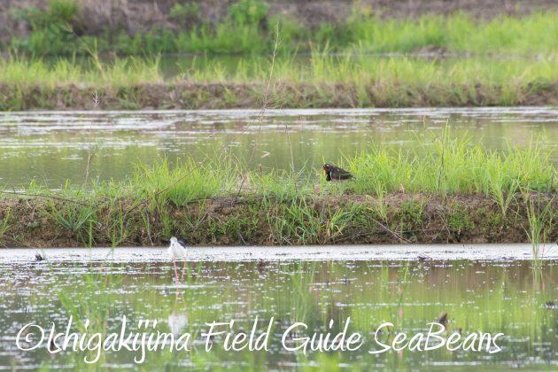 8月16日石垣島 バードウオッチング&野鳥撮影ガイド18