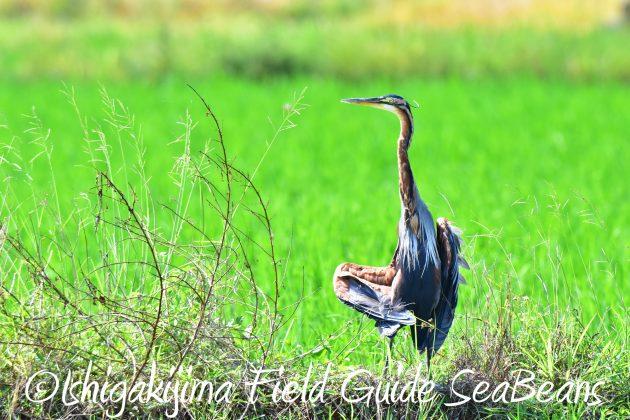 8月30日石垣島バードウオッチング&野鳥撮影15