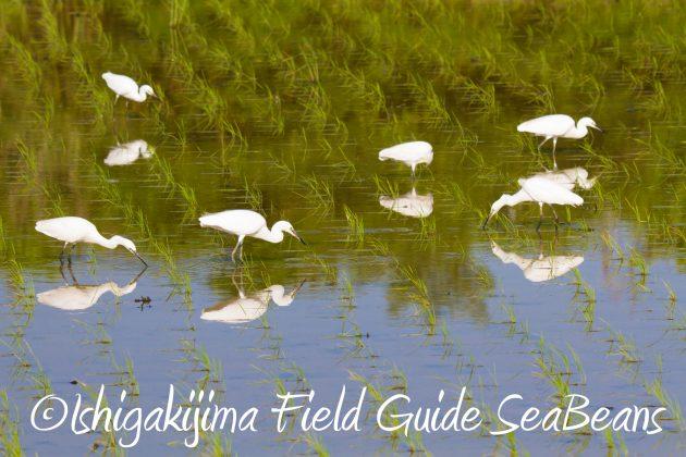 8月30日石垣島バードウオッチング&野鳥撮影5