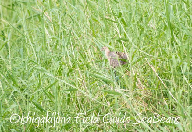 8月2日石垣島 バードウオッチング 野鳥撮影13
