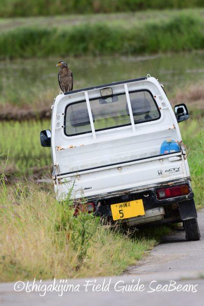 8月12日石垣島バードウオッチング&野鳥撮影9