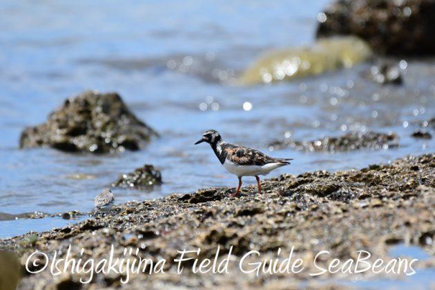 8月9日石垣島の野鳥 バードウオッチング3