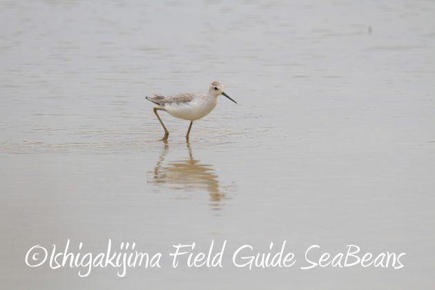 8月31日石垣島バードウオッチング&野鳥撮影12