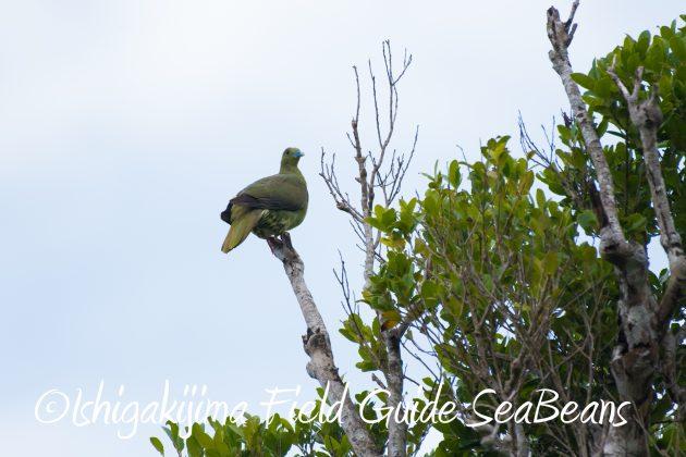 8月17日石垣島バードウオッチング&野鳥撮影14