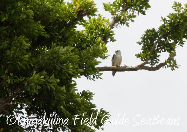 8月26日石垣島バードウオッチング&野鳥撮影ガイド10