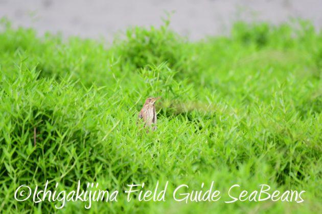 8月10日石垣島 バードウオッチング&野鳥撮影1