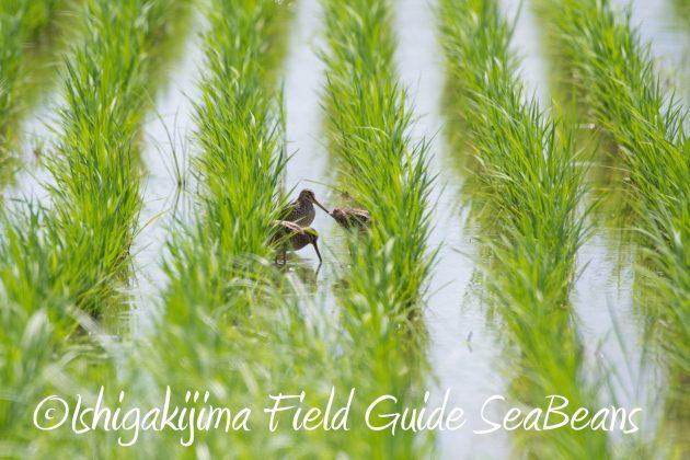 8月27日石垣島バードウオッチング&野鳥撮影12