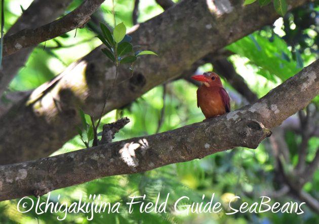 8月29日石垣島バードウオッチング&野鳥撮影17