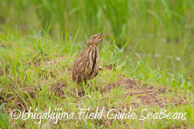 8月31日石垣島バードウオッチング&野鳥撮影4