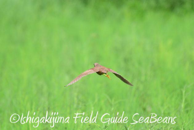 8月2日石垣島 バードウオッチング 野鳥撮影11