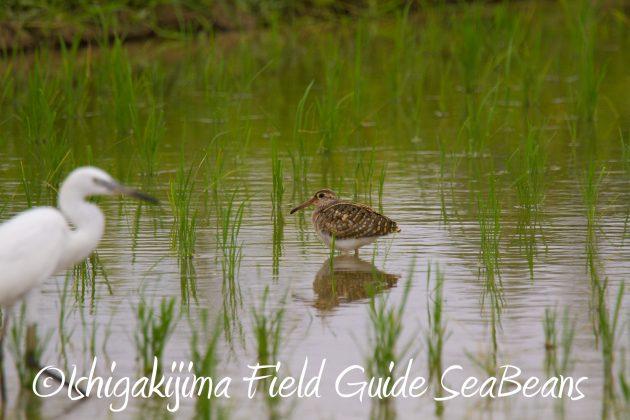 8月31日石垣島バードウオッチング&野鳥撮影15