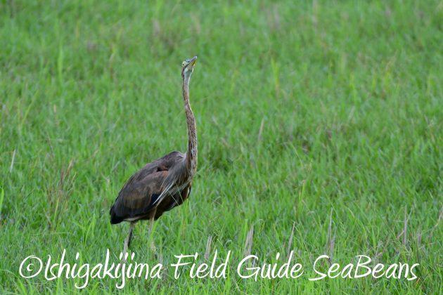 8月13日石垣島バードウオッチング&野鳥撮影15