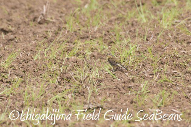 8月26日石垣島バードウオッチング&野鳥撮影ガイド6