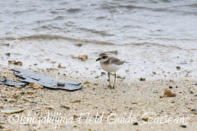 8月10日石垣島 バードウオッチング&野鳥撮影14