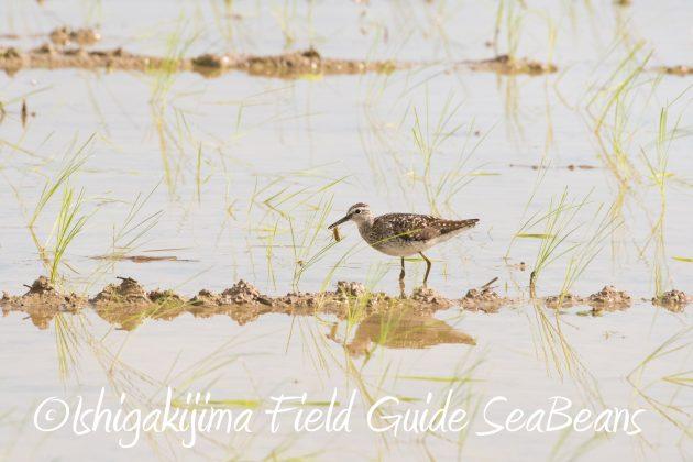 8月17日石垣島バードウオッチング&野鳥撮影9