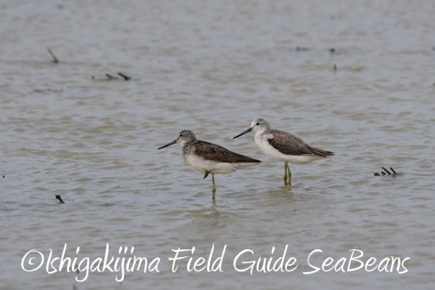 8月1日 石垣島 バードウオッチング 野鳥撮影9