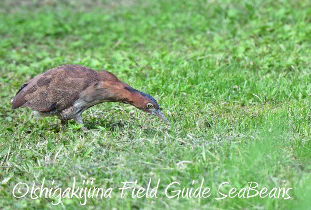 8月30日石垣島バードウオッチング&野鳥撮影16