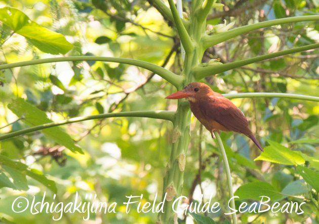 8月30日石垣島バードウオッチング&野鳥撮影13