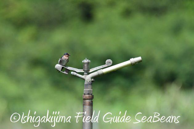 8月27日石垣島バードウオッチング&野鳥撮影8