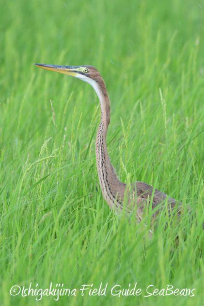 8月1日 石垣島 バードウオッチング 野鳥撮影11