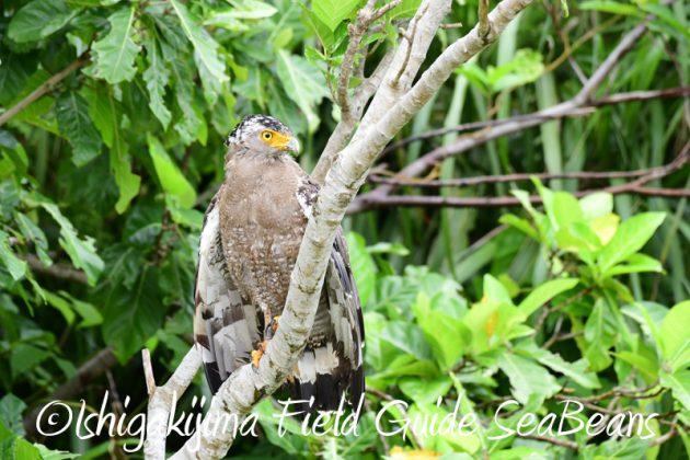 8月10日石垣島 バードウオッチング&野鳥撮影6