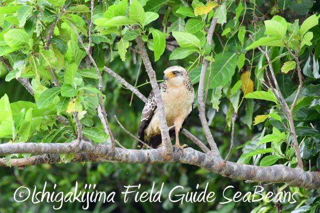 8月25日石垣島バードウオッチング&野鳥撮影ガイド14
