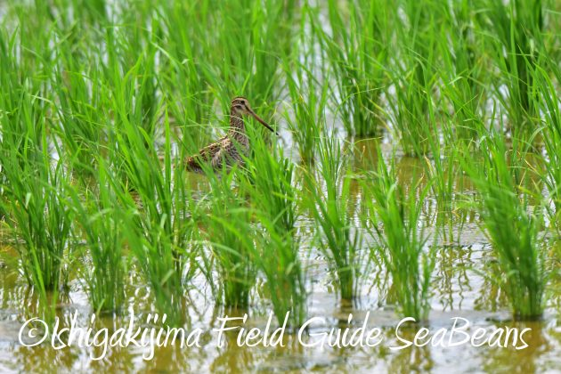 8.28石垣島バードウオッチング&野鳥撮影8