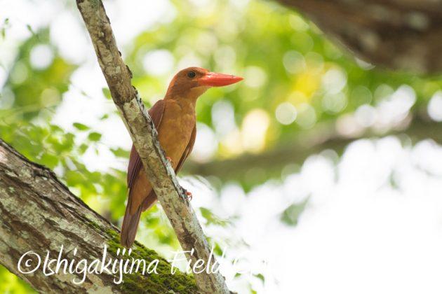 8月6日 石垣島の野鳥 バードウオッチング15