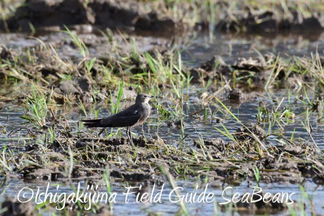 8月2日石垣島 バードウオッチング 野鳥撮影8