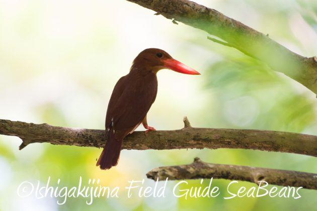 8月1日 石垣島 バードウオッチング 野鳥撮影16