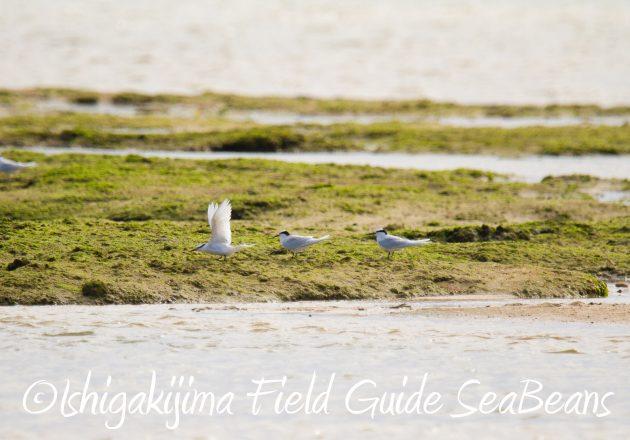 8月29日石垣島バードウオッチング&野鳥撮影1